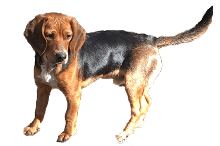 Canine bed bug detection specialist finds bedbugs by their scent